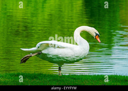 mute swan (Cygnus olor), stretching on the lakefront, Germany, North Rhine-Westphalia - Stock Photo