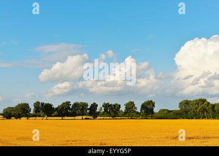grain field in summer, Germany, Schleswig-Holstein, Fehmarn - Stock Photo