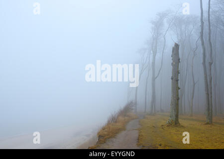 common beech (Fagus sylvatica), coastal beech forest and Baltic Sea with path and fog, Ghost Wood, Germany, Mecklenburg - Stock Photo