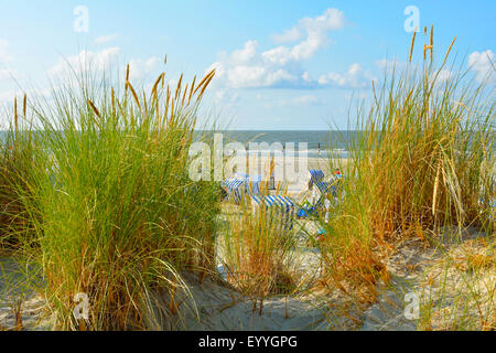 beach grass, European beachgrass, marram grass, psamma, sea sand-reed (Ammophila arenaria), beach with beach chairs - Stock Photo
