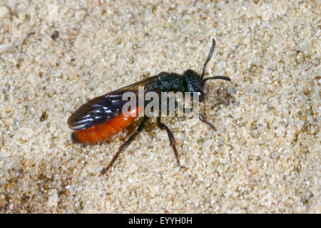 Cuckoo bee, Sweat bee, Halictid Bee (Sphecodes albilabris, Sphecodes fuscipennis), on sand, Germany - Stock Photo