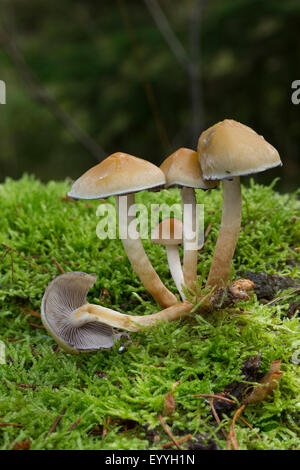 Conifer tuft (Hypholoma capnoides), in moss, Germany - Stock Photo