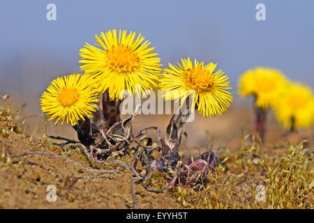 colt's-foot, coltsfoot (Tussilago farfara), blooming, Germany - Stock Photo