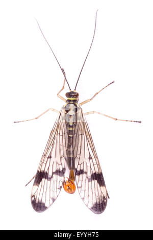 common scorpionfly (Panorpa communis), male, cut-out - Stock Photo