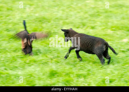 domestic sheep (Ovis ammon f. aries), lamb blowing off a mallard, Germany, North Rhine-Westphalia - Stock Photo