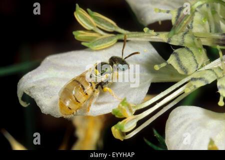 Sweat bee (Nomioides minutissima, Nomioides minutissimus), on Nigella arvensis, Germany - Stock Photo