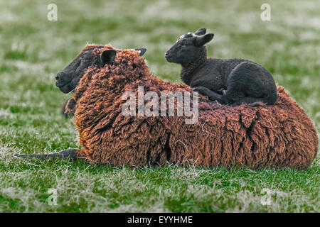 domestic sheep (Ovis ammon f. aries), lamb resting on the back of its mother, Germany, North Rhine-Westphalia - Stock Photo