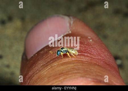 Sweat bee (Nomioides minutissima, Nomioides minutissimus), on a thumb, Germany - Stock Photo