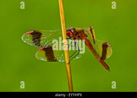 banded sympetrum (Sympetrum pedemontanum), male on a blade of grass, Germany - Stock Photo