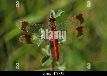 banded sympetrum (Sympetrum pedemontanum), male , Germany - Stock Photo