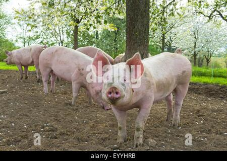 domestic pig (Sus scrofa f. domestica), domestic pigs in an outdoor enclosure, Germany, North Rhine-Westphalia - Stock Photo
