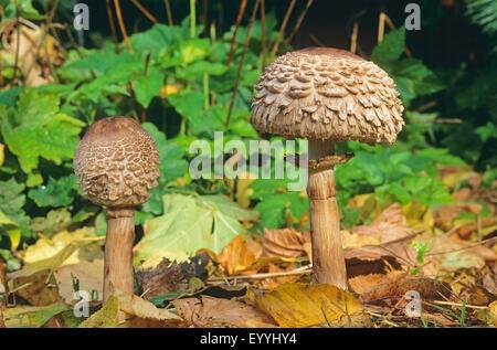 Shaggy parasol (Chlorophyllum olivieri, Chlorophyllum rachodes, Macrolepiota rachodes), fruiting bodies on forest - Stock Photo