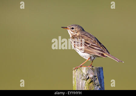 Meadow Pipit (Anthus pratensis), siting on a fence post, Netherlands, Texel - Stock Photo