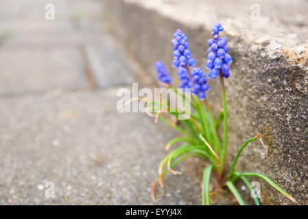 Armenian grape-hyacinth (Muscari armeniacum), feral in a pavement gap, Germany, Bavaria, Oberpfalz - Stock Photo