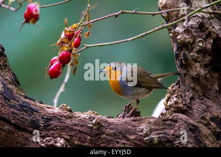 European robin (Erithacus rubecula), with rosehips on an old tree, Switzerland, Sankt Gallen, Rheineck - Stock Photo