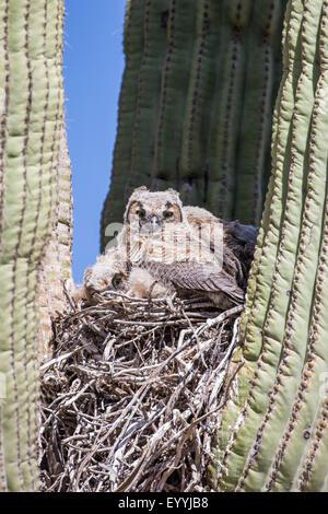 great horned owl (Bubo virginianus), young birds in the nest in a saguro, USA, Arizona, Sonorawueste, Phoenix