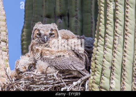 great horned owl (Bubo virginianus), young birds in the nest in a saguro, USA, Arizona, Sonorawueste, Phoenix - Stock Photo