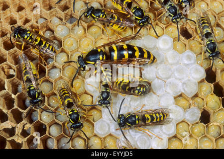 common wasp (Vespula vulgaris, Paravespula vulgaris), queen an dworkers in their nest, Germany - Stock Photo