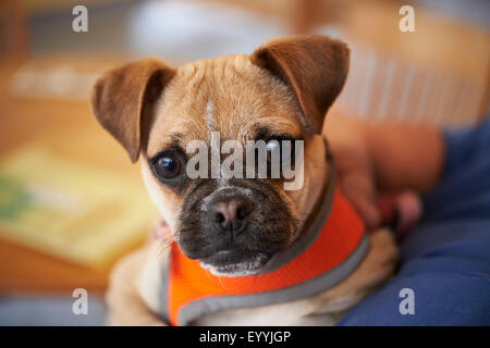 puppy pug - Stock Photo