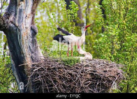 white stork (Ciconia ciconia), White Storks on nest in tree, Austria, Lower Austria, Marchegg - Stock Photo