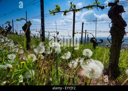grape-vine, vine (Vitis vinifera), vine yard in spring with dandelion seed heads, Germany, Saxony, Radebeul - Stock Photo