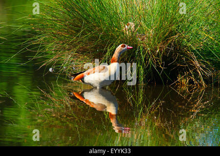 Egyptian goose (Alopochen aegyptiacus), goose standing in shallow water near the breeding site, Germany - Stock Photo