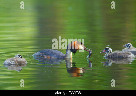 great crested grebe (Podiceps cristatus), adult bird with feed in the bill swimming with three young animals on - Stock Photo