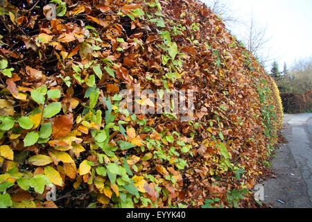 common beech (Fagus sylvatica), autumnal beech hedge as encircling to the street, Germany, North Rhine-Westphalia - Stock Photo