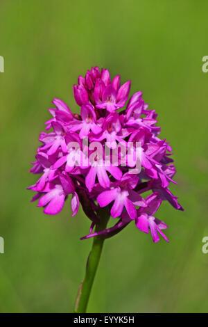 Pyramidal orchid (Anacamptis pyramidalis, Orchis pyramidalis), inflorescence, Germany - Stock Photo