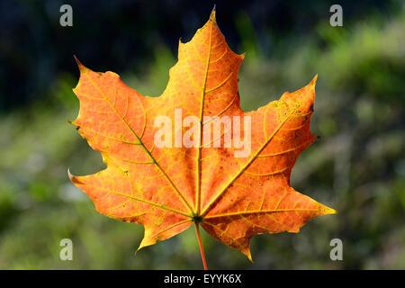 Norway maple (Acer platanoides), autumn maple leaf , Germany - Stock Photo