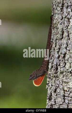Brown anole, Cuban anole (Anolis sagrei, Norops sagrei), male displaying its dewlap, USA, Florida - Stock Photo