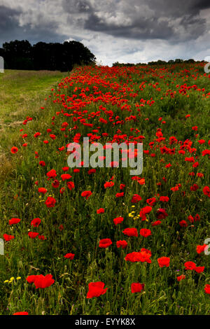 Poppies,West Berkshire,England - Stock Photo