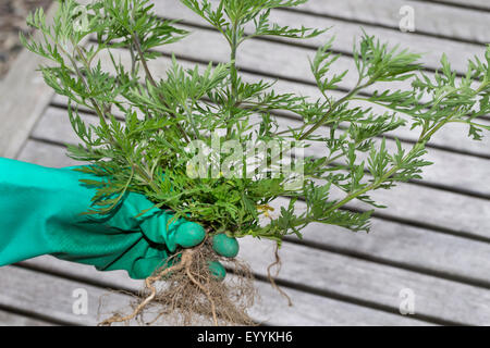 Annual ragweed, Common ragweed, Bitter-weed, Hog-weed, Roman wormwood (Ambrosia artemisiifolia), single Annual ragweed - Stock Photo