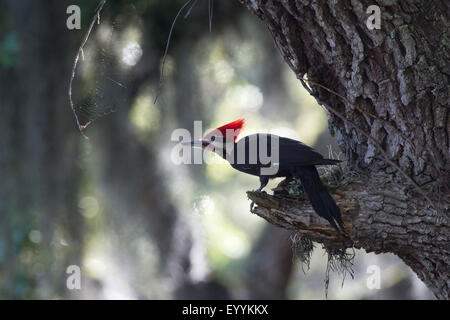 Pileated woodpecker (Dryocopus pileatus), male on the feed at a tree trunk, USA, Florida, Kissimmee - Stock Photo