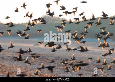 common starling (Sturnus vulgaris), flock in backlight, Germany, Schleswig-Holstein, Heligoland - Stock Photo