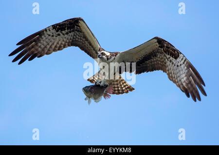 Osprey pandion haliaetus in flight with rainbow trout for Fish hawk fl