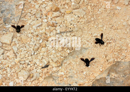 wall bee, mason bee (Megachile parietina, Chalicodoma parietina, Chalicodoma muraria), collecting sand and clay - Stock Photo