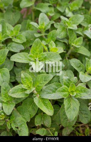 wild origanum, wild marjoram (Origanum vulgare), leaves shortly before flowering, Germany - Stock Photo