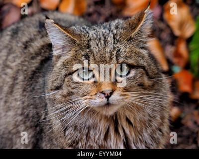 European wildcat, forest wildcat (Felis silvestris silvestris), portrait of a forest wildcat, Germany, Bavaria, - Stock Photo