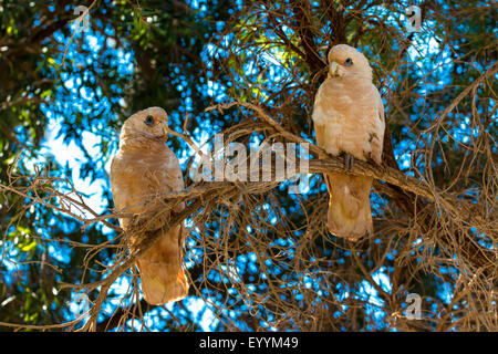 little corella (Cacatua sanguinea), two little corellas on a tree, Australia, Western Australia, Tom Price - Stock Photo
