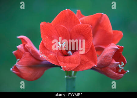 amaryllis (Hippeastrum spec.), inflorescence - Stock Photo