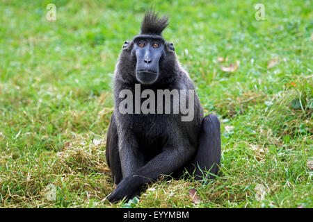 Celebes ape, Celebes black ape, Celebes Crested Macaque (Macaca nigra, Cynopithecus niger), sits in a meadow - Stock Photo