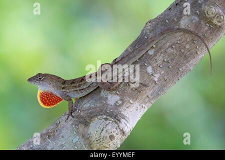 Brown anole, Cuban anole (Anolis sagrei, Norops sagrei), male displaying its dewlap, USA, Florida, Kissimmee - Stock Photo