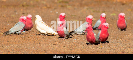 little corella (Cacatua sanguinea), little corella and rose-breasted cockatoos, Eolophus roseicapillus, Australia, - Stock Photo