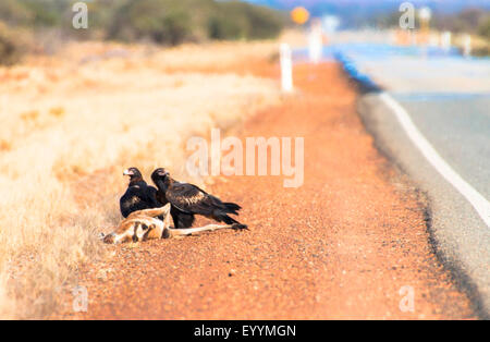 wedge-tailed eagle (Aquila audax), wedge-tailed eagles at knocked down kangaroo, Australia, Western Australia, Great - Stock Photo