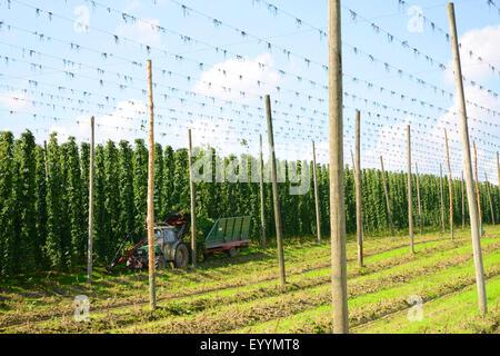 common hop (Humulus lupulus), hop garden, harvesting hops, Germany, Bavaria - Stock Photo