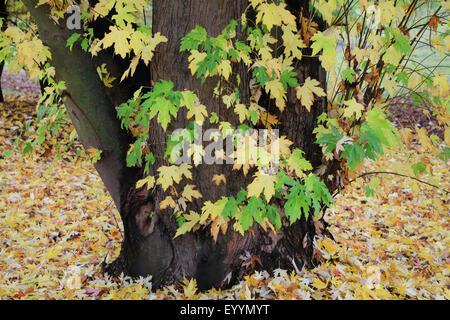 silver maple, white maple, bird's eye maple (Acer saccharinum), in autumn, Germany - Stock Photo