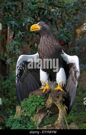 Steller's sea eagle (Haliaeetus pelagicus), with straddled wings on a root - Stock Photo