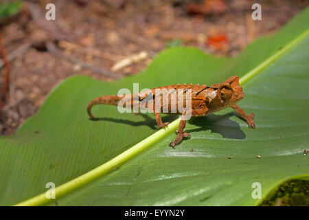 stump-tailed chameleons, leaf chameleons (Brookesia spec.), animal runs on a  leaf, Madagascar, Ranomafana National - Stock Photo