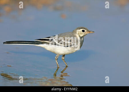 pied wagtail (Motacilla alba), immature pied wagtail stands in shallow water, Bulgaria, Kaliakra - Stock Photo